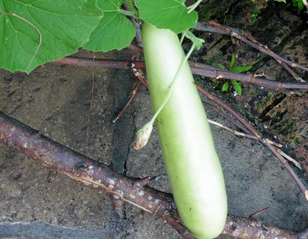 Bottle Gourd Curry with Spinach